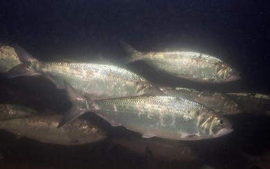 UDSRR to Celebrate American Shad & World Fish Migration Day May 21st