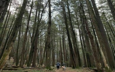 Majestic grove of Hemlock trees on the Damascus Forest Trail.