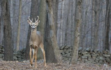 Young buck by David Soete