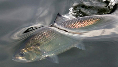 Upper Delaware Scenic and Recreational River Notes a Timeless Rite of Spring, the Spawning Run of American Shad
