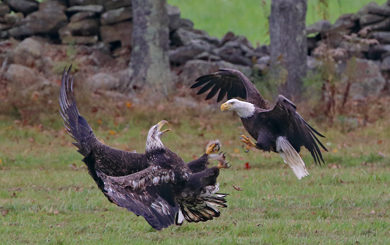 bald and immature eagle settling score