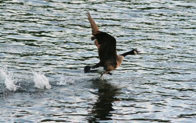 Canadian Goose by David Soete
